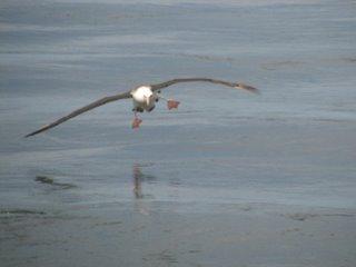 l.albatross1-729730.jpg